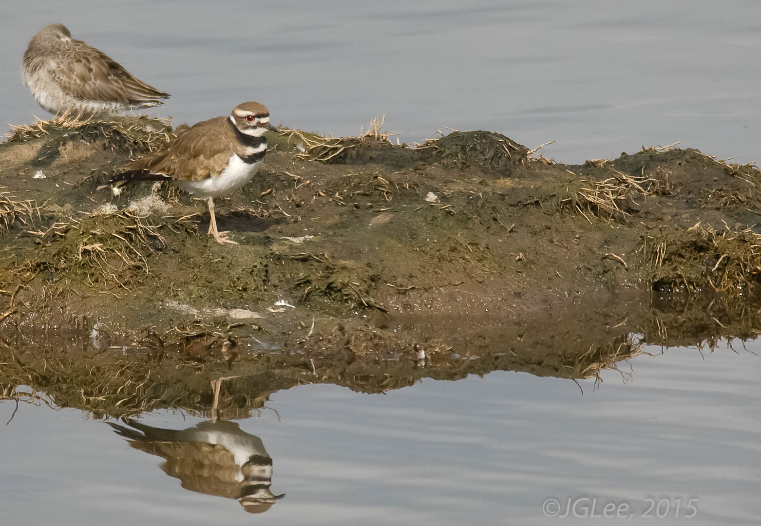 Reflection of a Killdeer