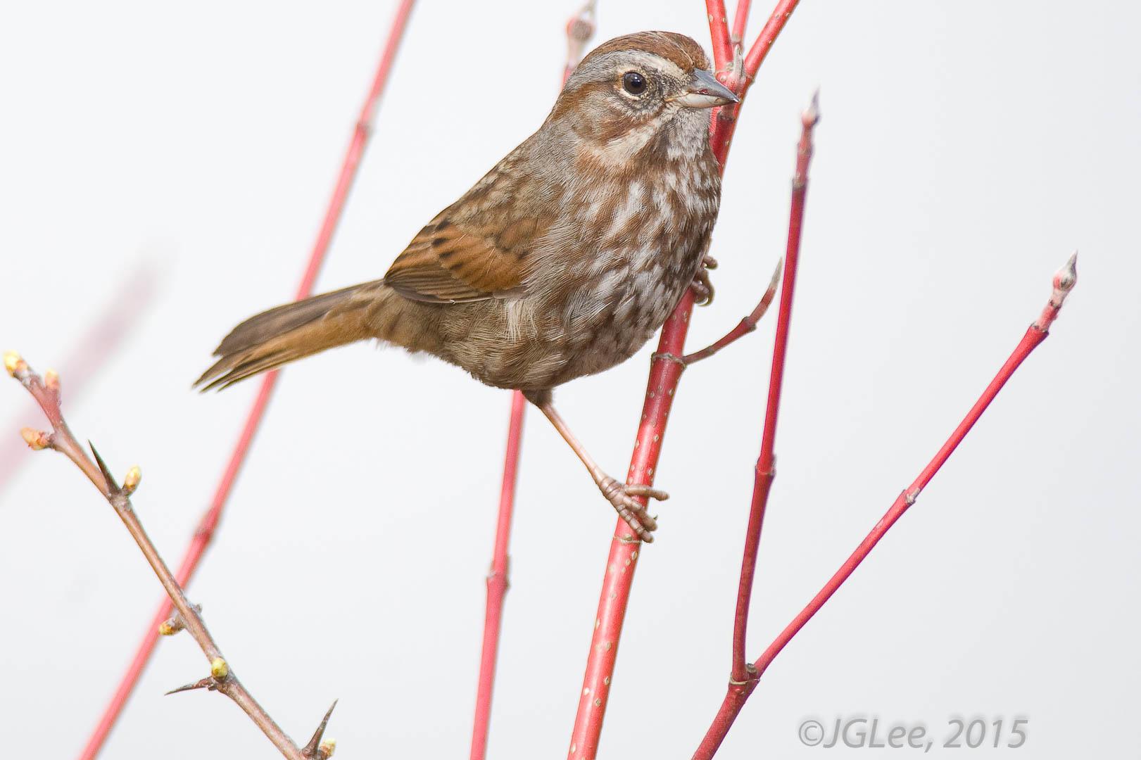 Sparrow XXII