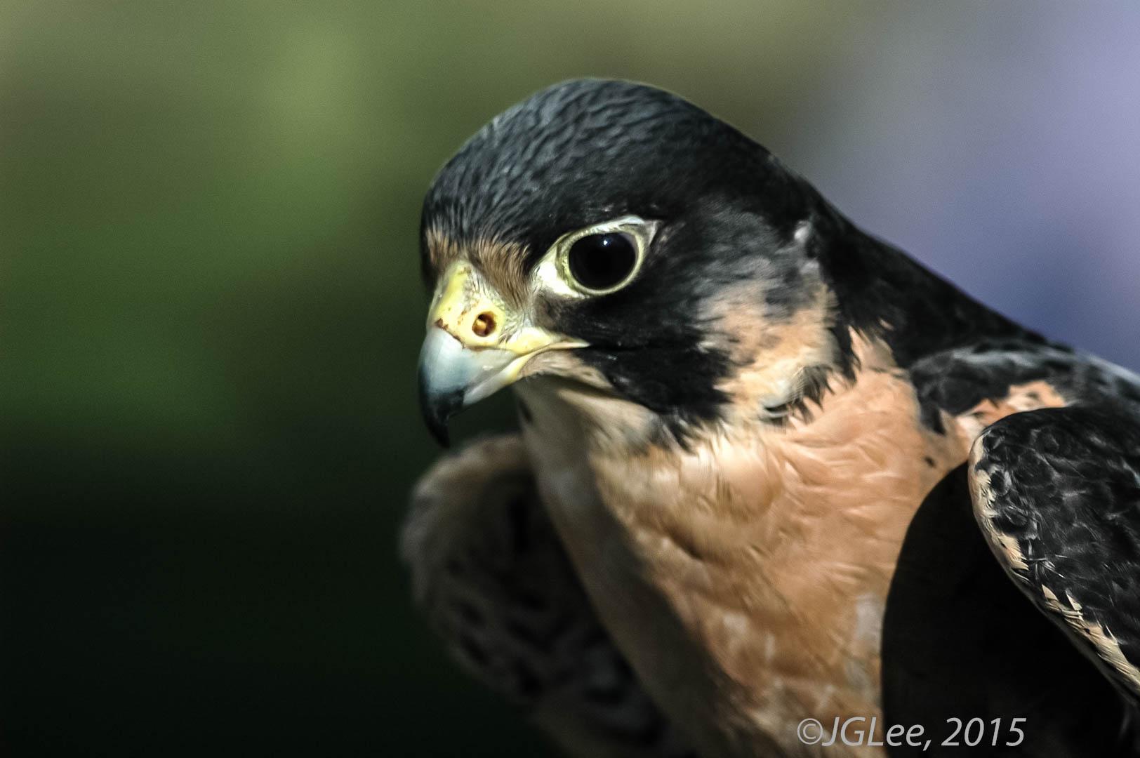 peregrine falcon (Falco peregrinus),