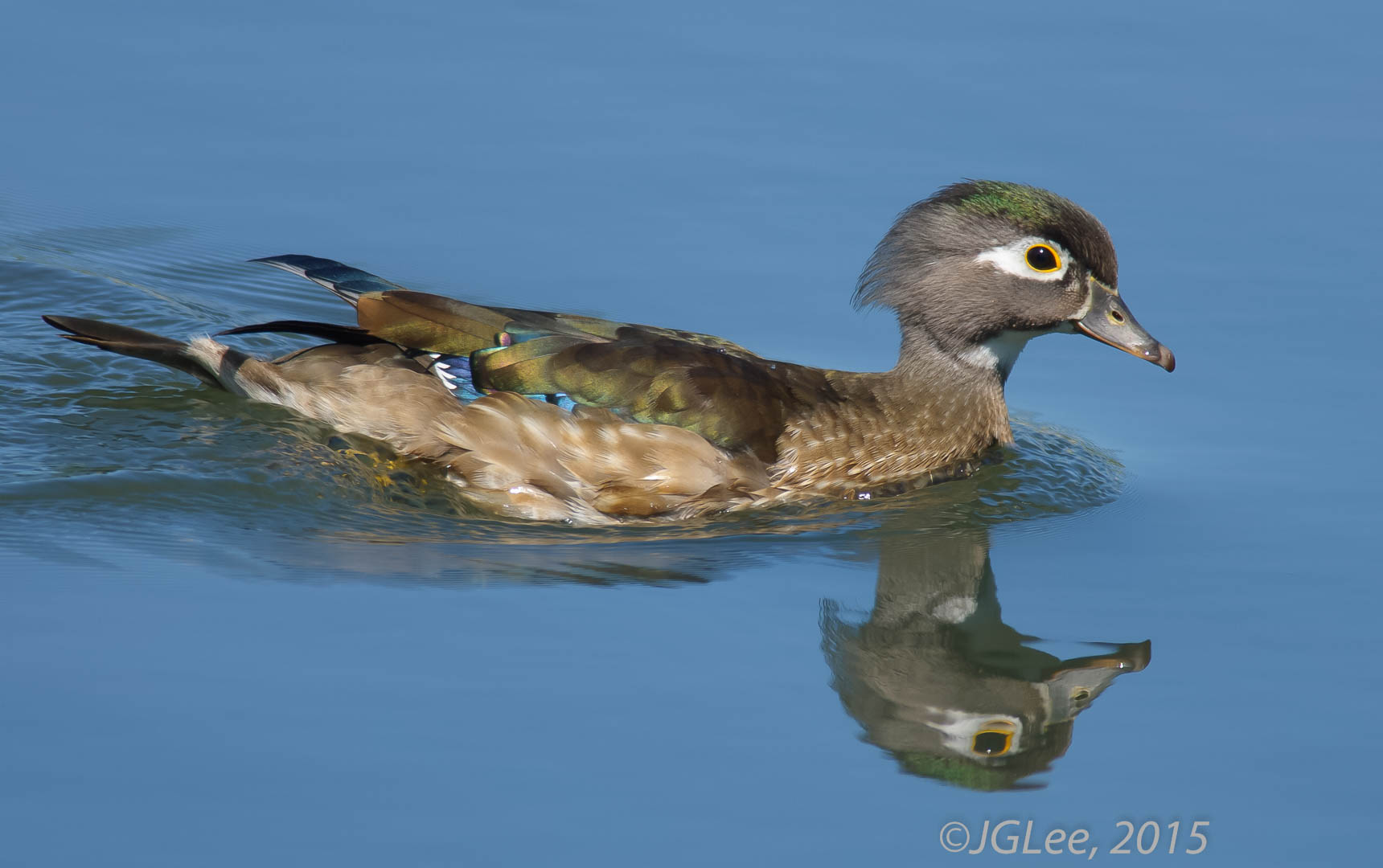 Wood Duck Beauty