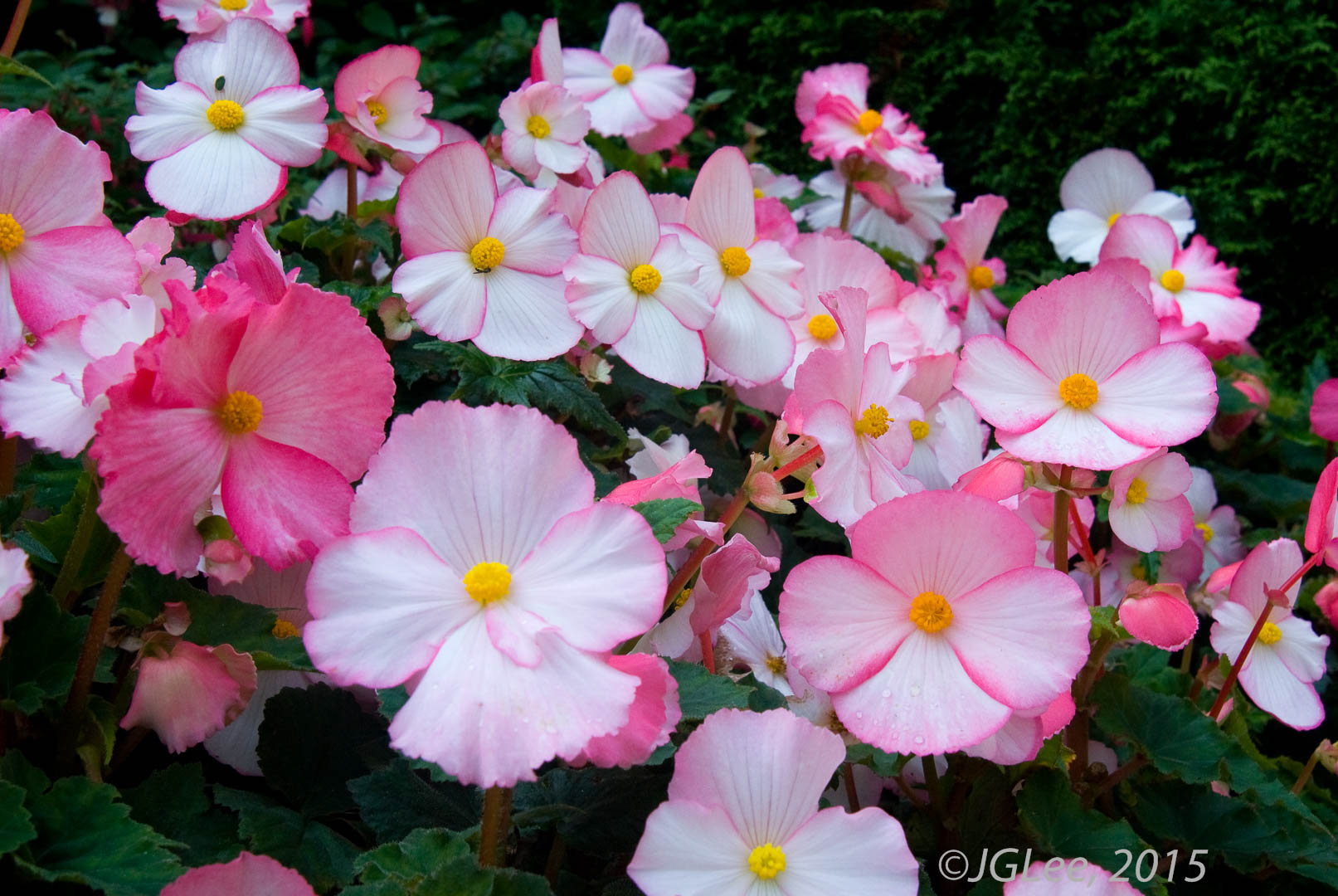 Pinks & Whites