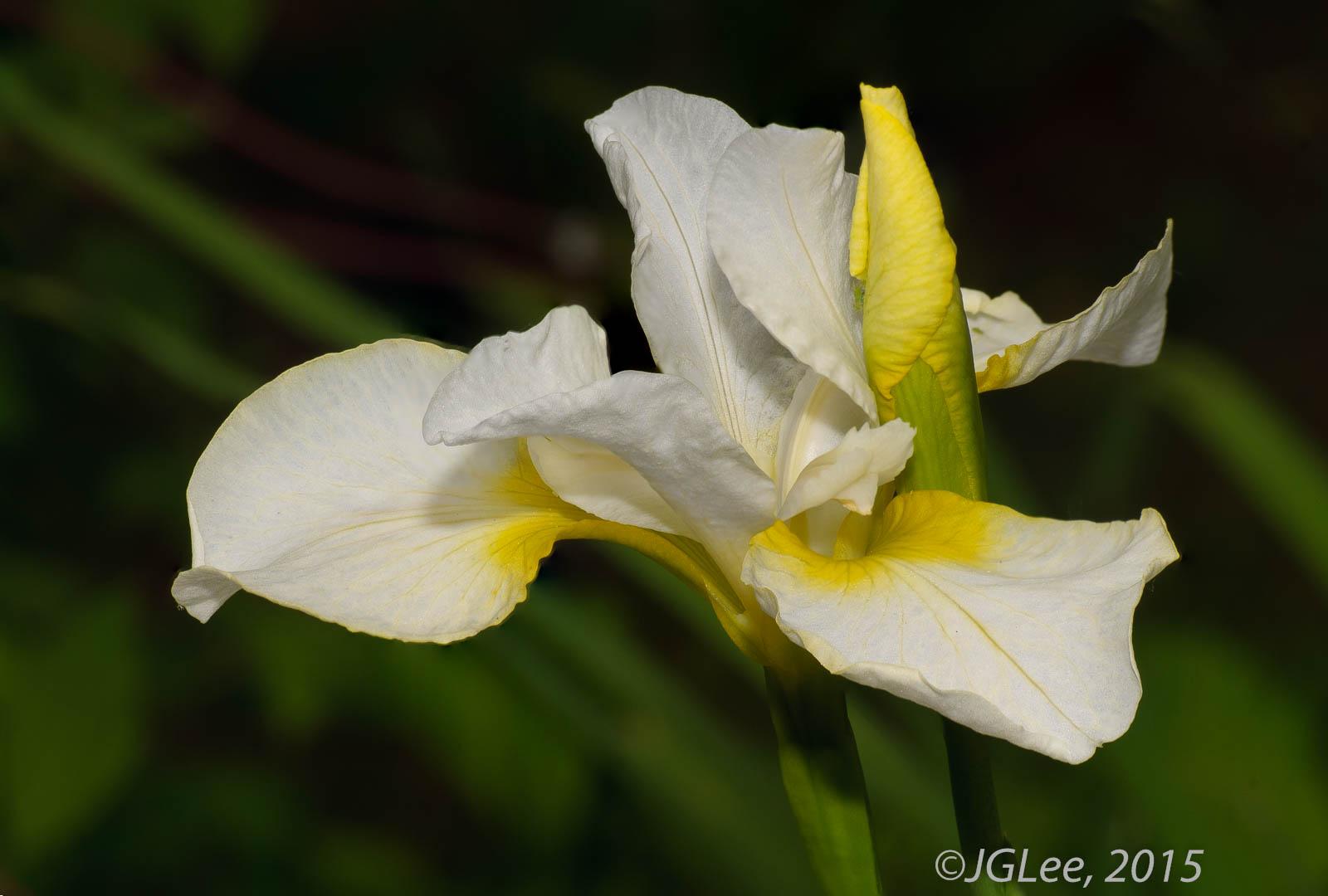 Iris Unfolding