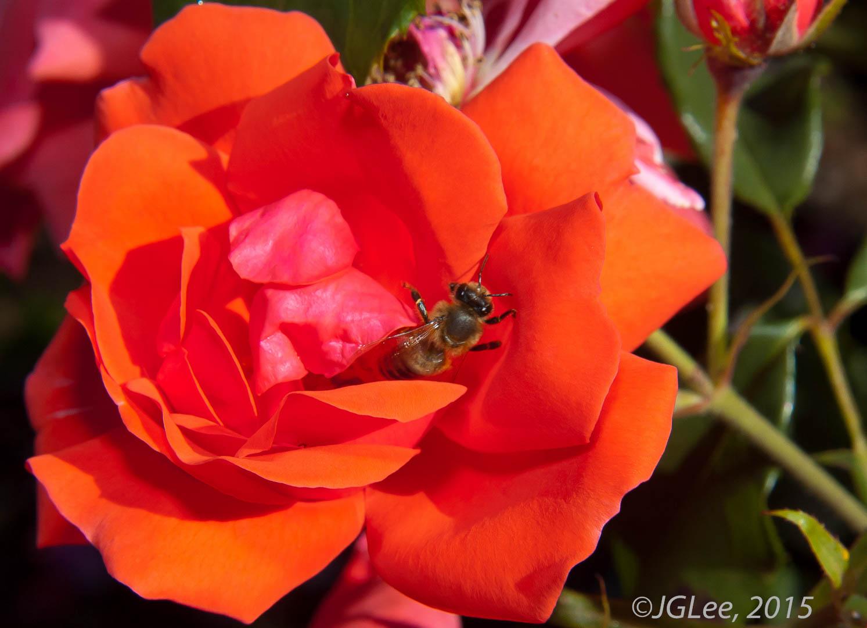 Honey on the Rose