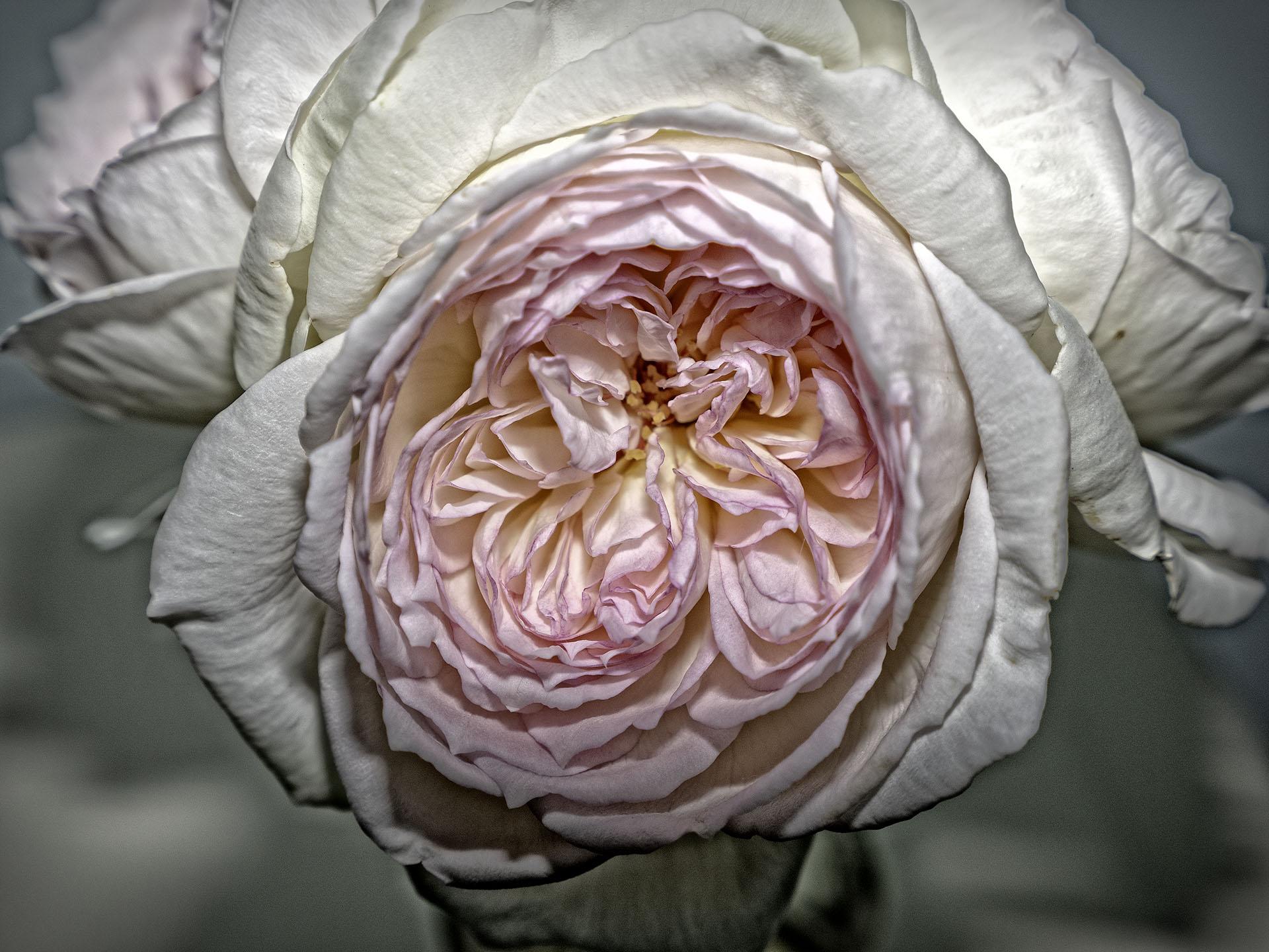 rosetexture