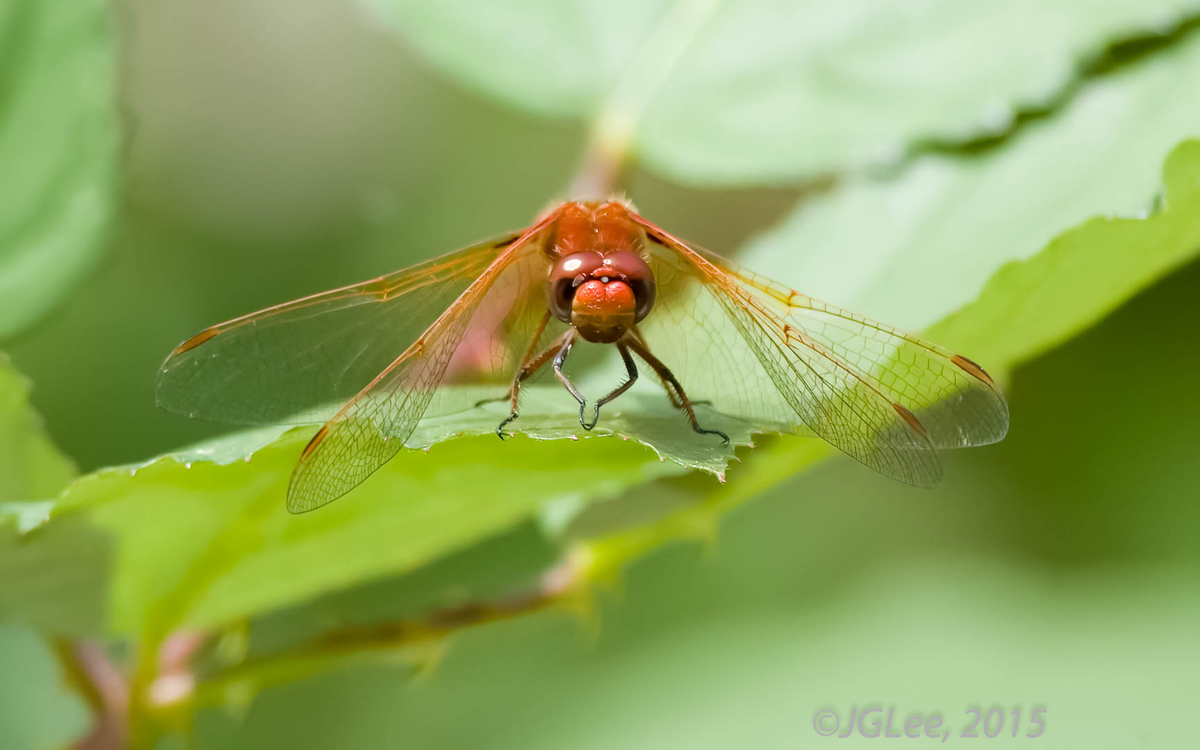 Face of the Dragonfly