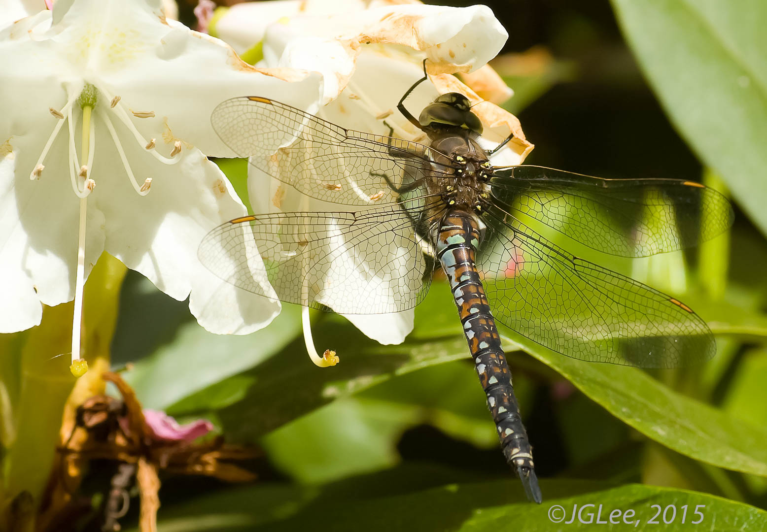 Dragonfly on White Flower